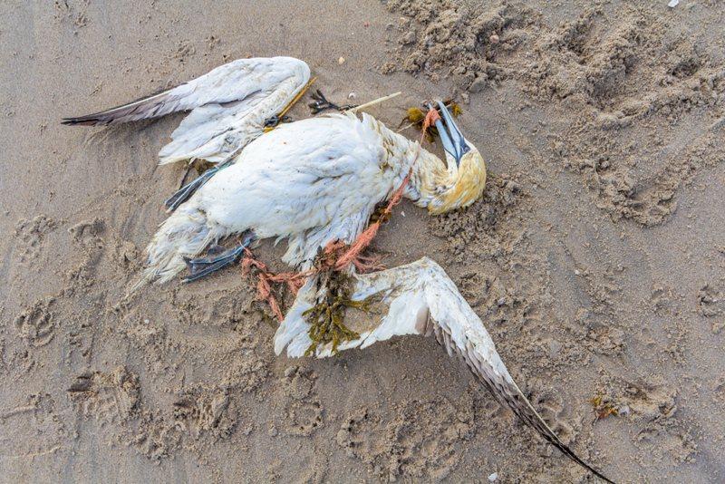 A dead gannet trapped in fishing net